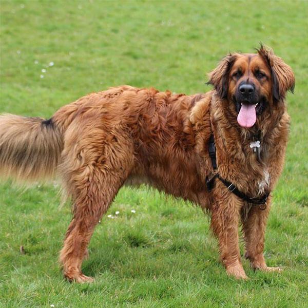 Leonberger German Mountain Dog