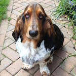 picture of a cute basset hound