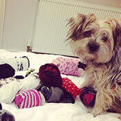 a Yorkshire Terrier on a bed surrounded by socks