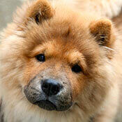 close up of a cute chow chow