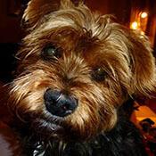 a cute closeup of a Yorkshire Terrier