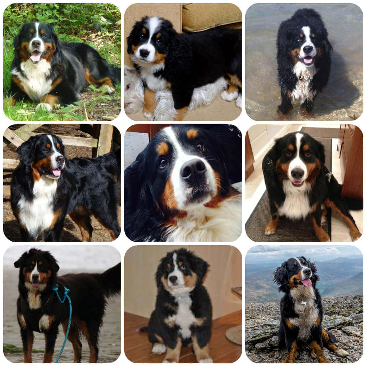 collage of adult bernese mountain dog and puppies, part of borrowmydoggy's guide to dog breeds.