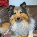 picture of a shetland sheepdog on the couch