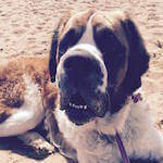 picture of a st bernard at the beach