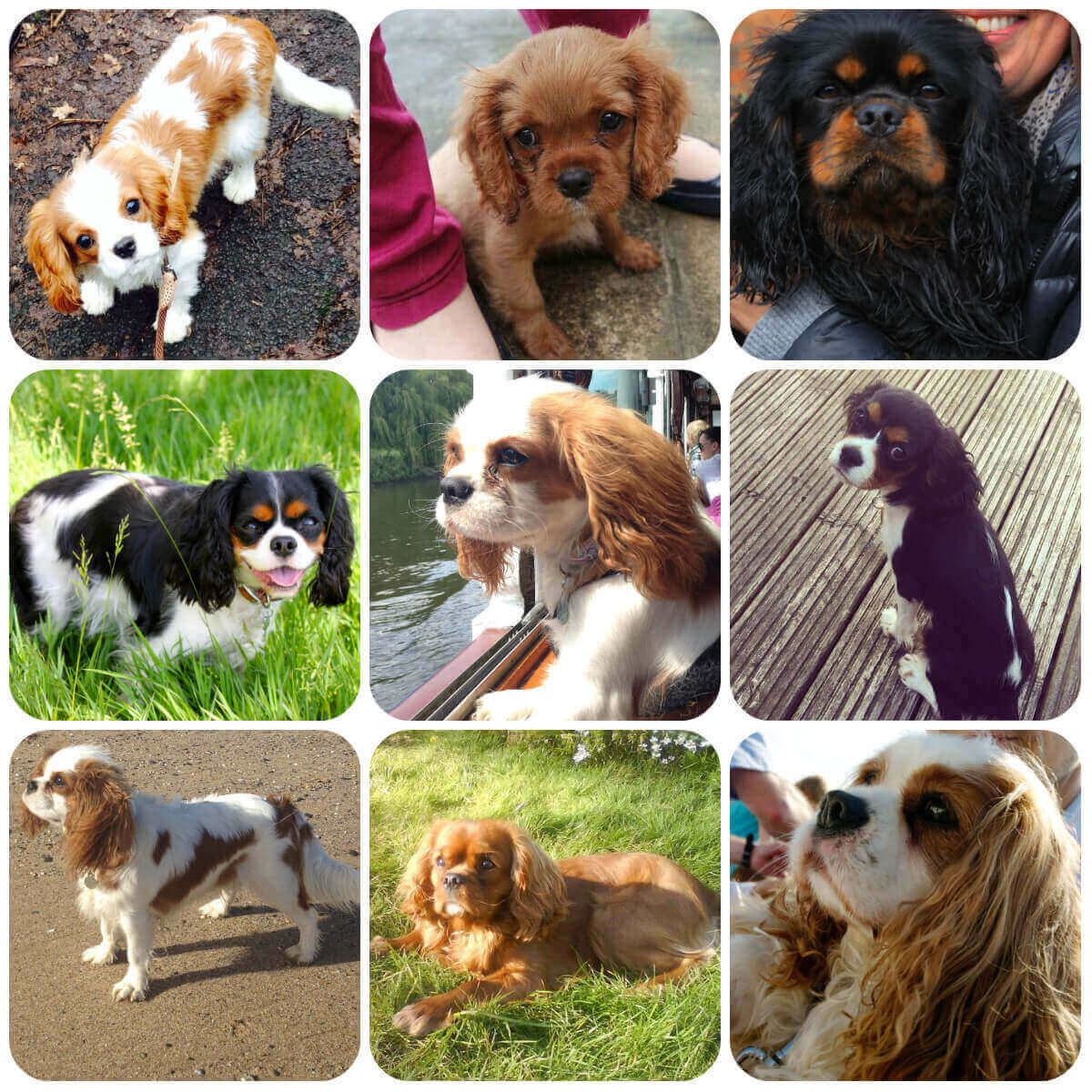 collage of cavalier king charles spaniel dogs and puppies, part of borrowmydoggy's guide to dog breeds