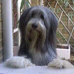 bearded collie looking inquisitive