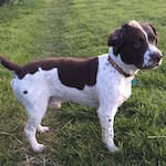 picture of a cute springer spaniel