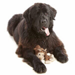 picture of a newfoundland with a toy