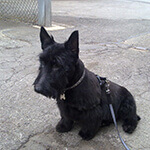 picture of a Scottish Terrier, Scottie Dog, sitting outside