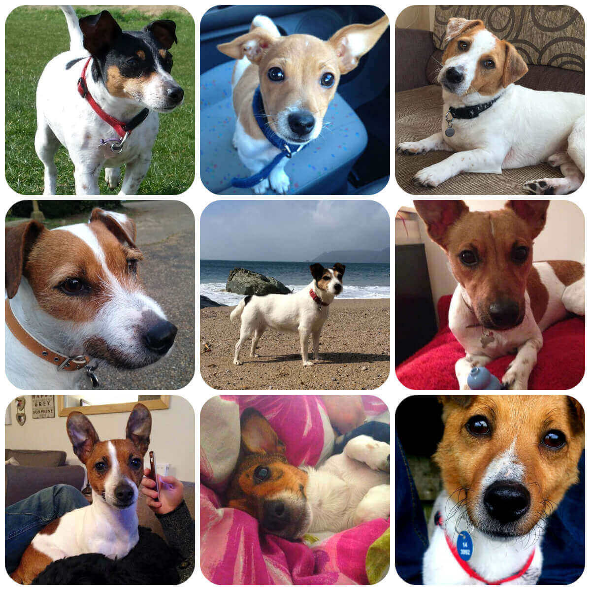 Jack Russell collage, part of BorrowMyDoggy's guide to dog breeds.