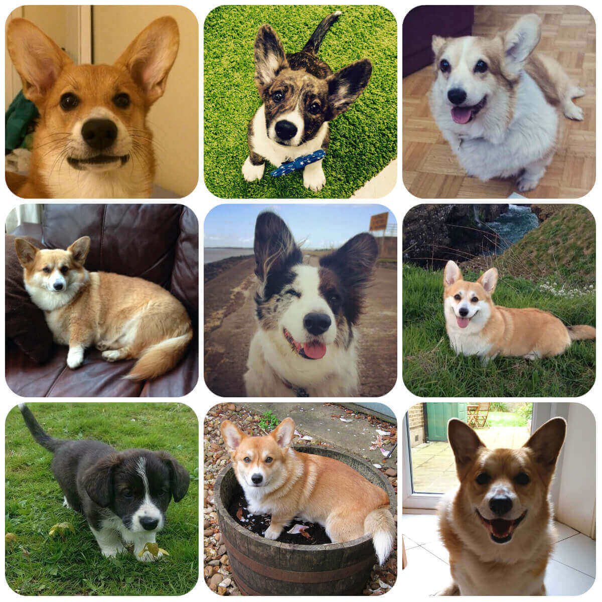 Corgi collage, part of BorrowMyDoggy's guide to dog breeds