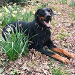 picture of a happy doberman outside