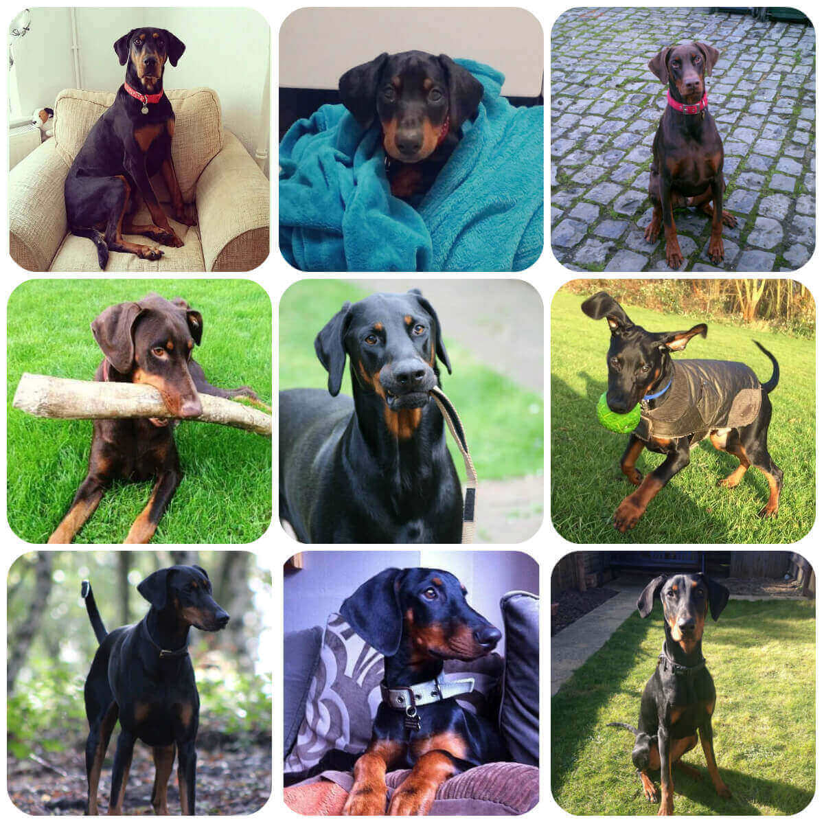 A collage of doberman dogs and puppies, part of BorrowMyDoggy's guide to dog breeds.