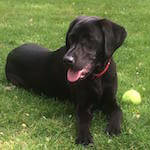 Labrador from BorrowMyDoggy