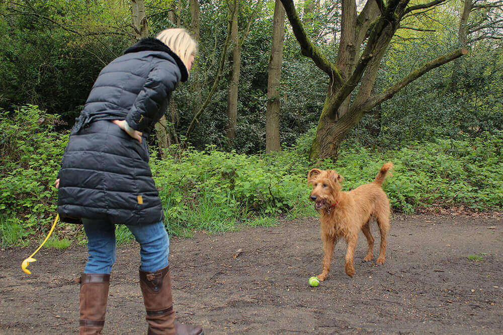 Irish Terrier on a walk playing with a tennis ball