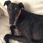 photo of a cute greyhound in bed