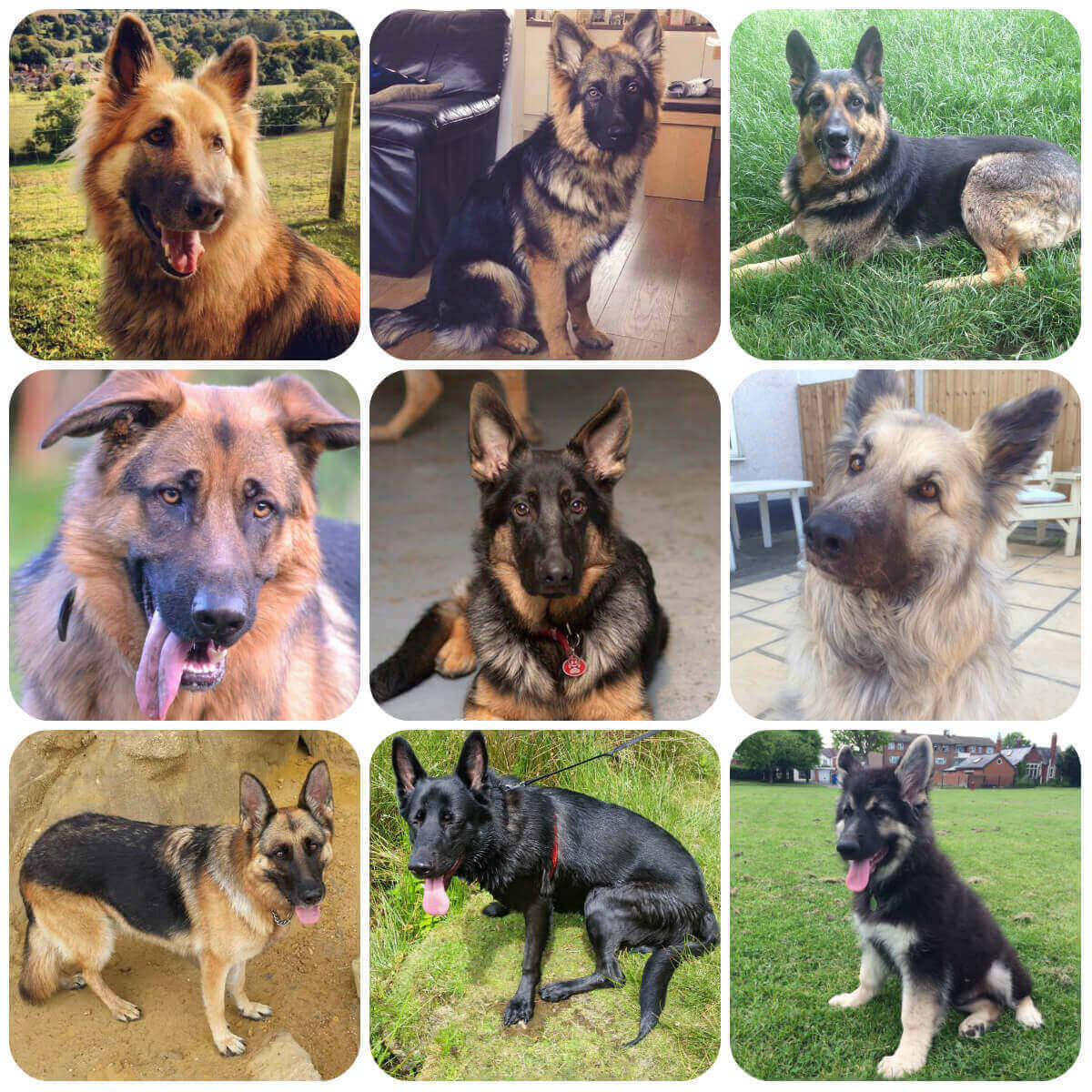 collage of german shepherd dogs and puppies, part of borrowmydoggy's guide  to dog breeds