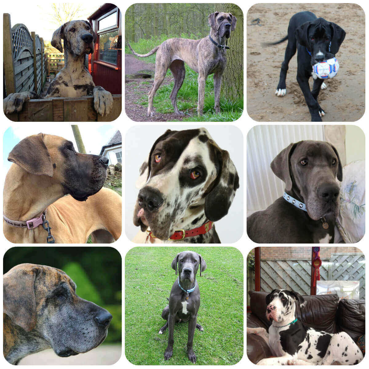 A collage of great dane dogs and puppies, part of BorrowMyDoggy's guide to dog breeds.