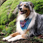 photo of a cute australian shepherd