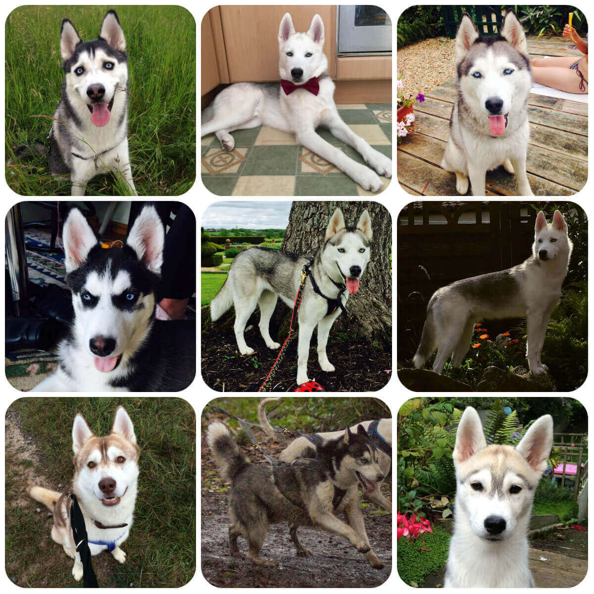 A collage of husky dogs and puppies, part of BorrowMyDoggy's guide to dog breeds.