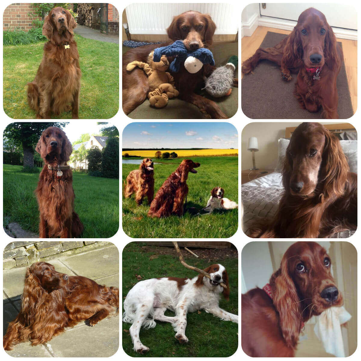 collage of irish setter dogs and puppies, part of borrowmydoggy's guide to dog breeds