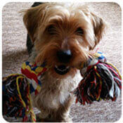 a happy Yorkshire Terrier holding his toy
