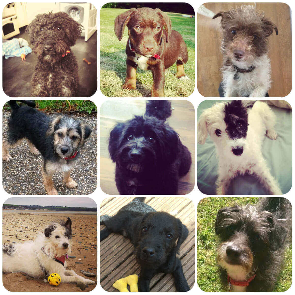 A collage of jackapoo dogs and puppies, part of BorrowMyDoggy's guide to dog breeds.