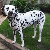 photo of a beautiful dalmatian