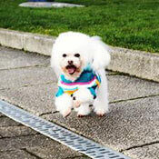 picture of an adorable poodle