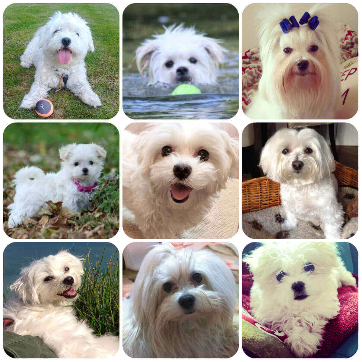 a collage of maltese dogs and puppies