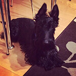 picture of a Scottish Terrier, Scottie Dog