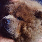 photo of a sweet chow chow