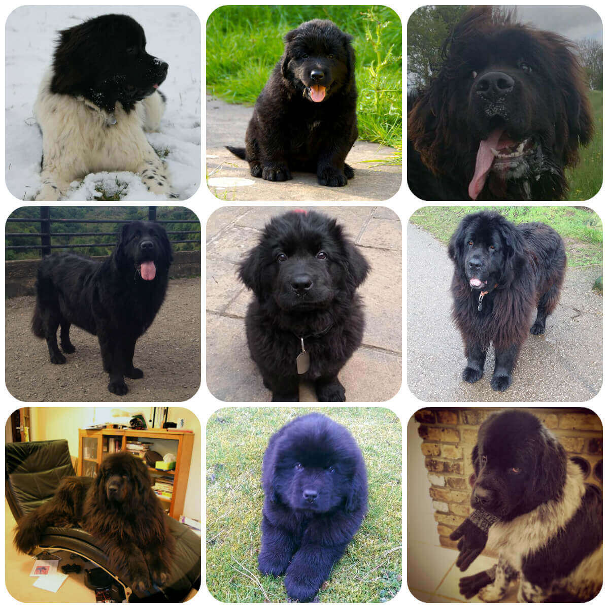 A collage of newfoundland dogs and puppies, part of BorrowMyDoggy's guide to dog breeds.
