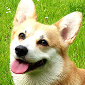 excited, smiling corgi
