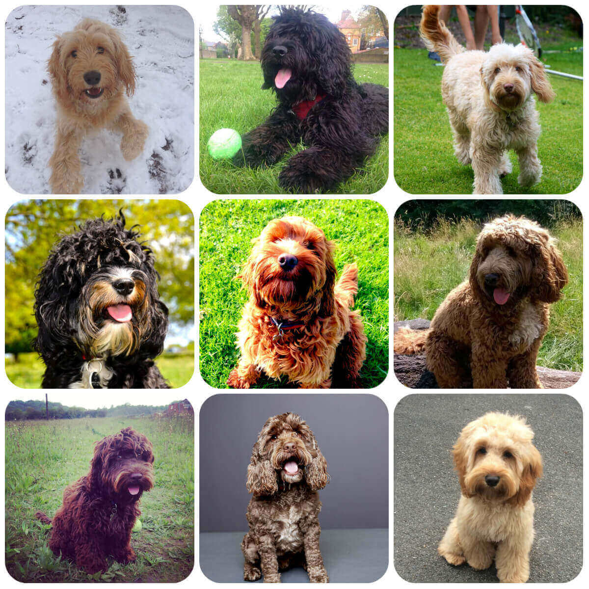 A collage of Cockapoo dogs and puppies, part of BorrowMyDoggy's guide to dog breeds.