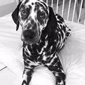 picture of an adorable dalmatian