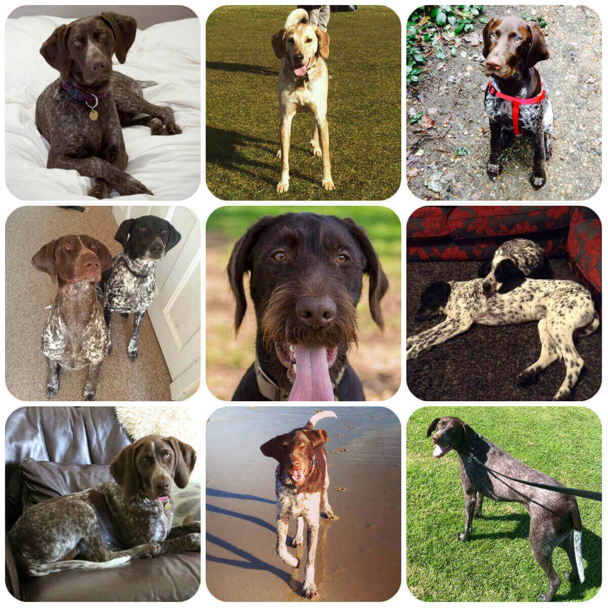 collage of pointer dogs and puppies, part of borrowmydoggy's guide to dog breeds