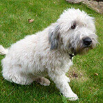picture of a cute wheaten terrier