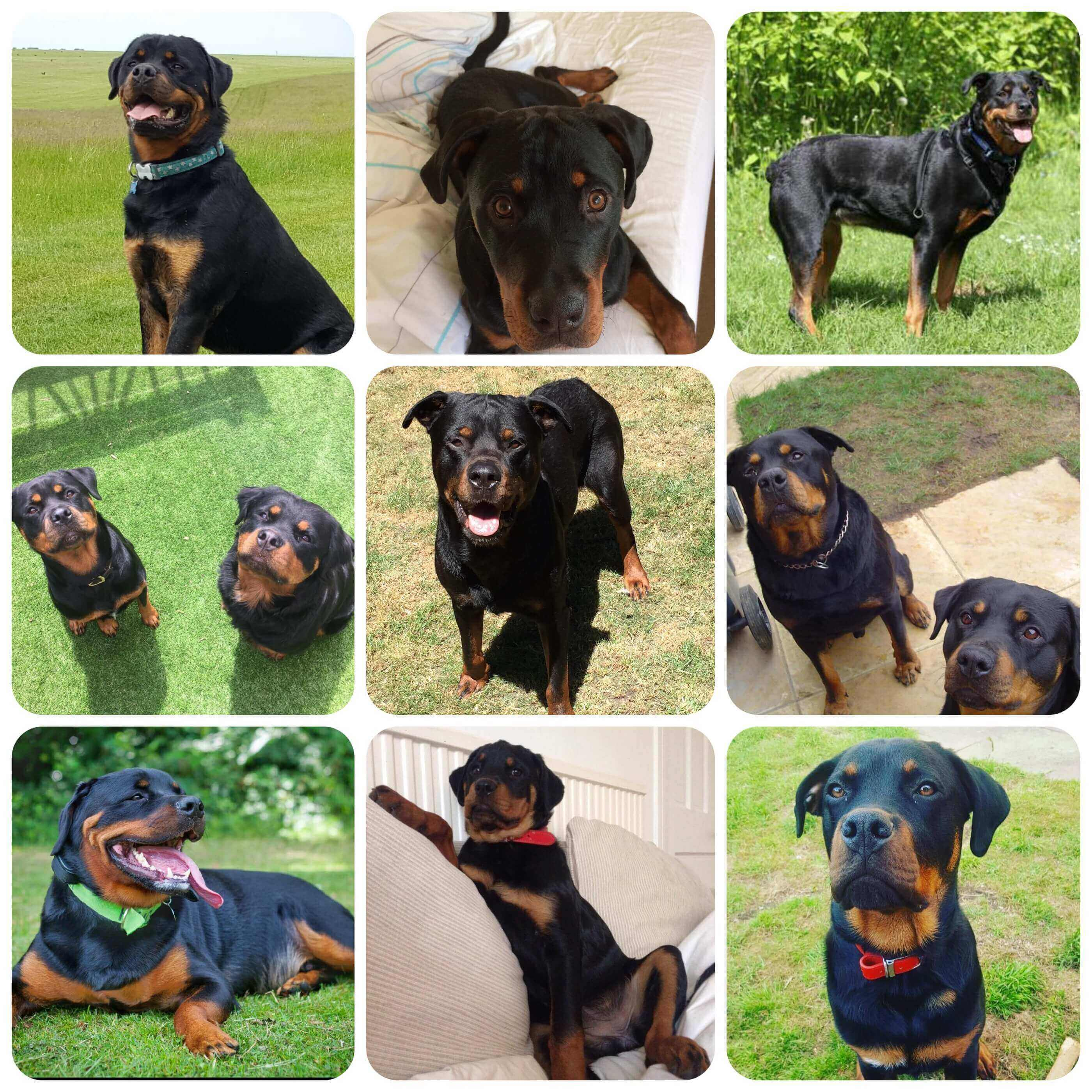 Rottweiler Borrowmydoggy Leaving Pawprints Of Happiness