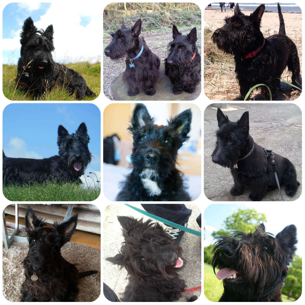 A collage of scottish terrier dogs and puppies, part of BorrowMyDoggy's guide to dog breeds.