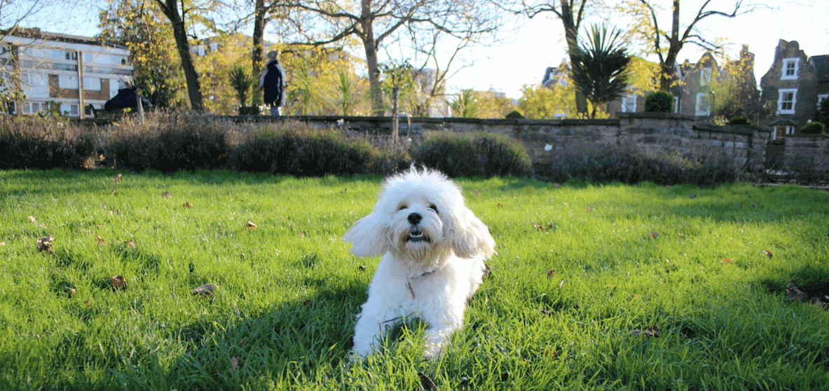 Cavachon puppy playing in the park