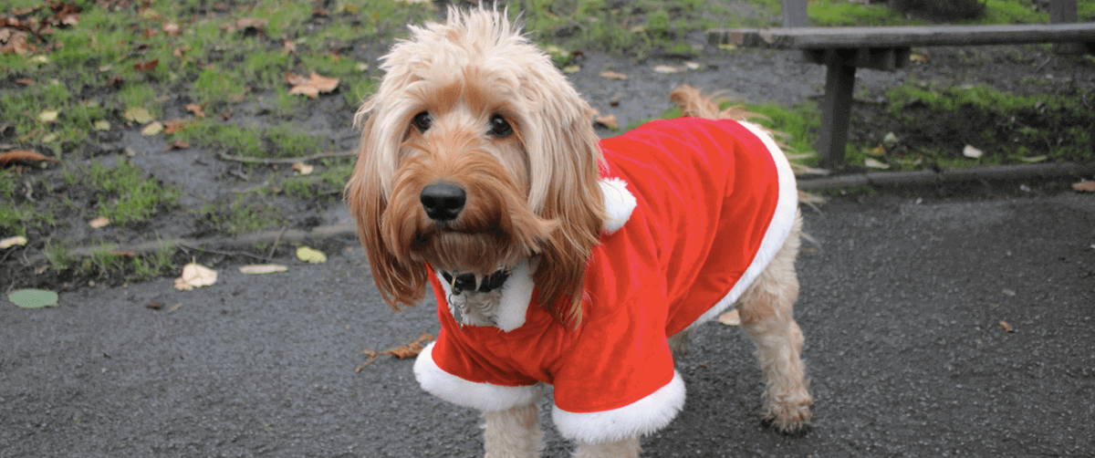 Cockapoo in a Christmas coat