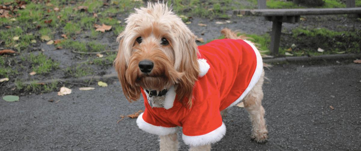 Cockapoo in a Christmas Coat