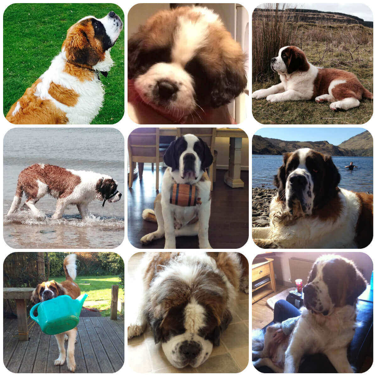 A collage of st bernard dogs and puppies, part of BorrowMyDoggy's guide to dog breeds.