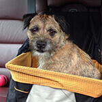 Border Terrier in the car