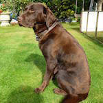 Chocolate labrador from BorrowMyDoggy