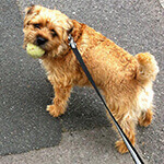 picture of a Border Terrier with a tennis ball