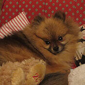 a sweet pomeranian sitting with her toy
