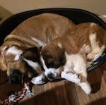 picture of st bernards cuddling