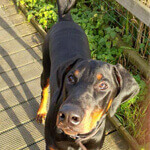 picture of a doberman outside
